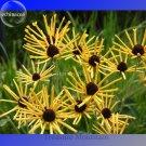 Heirloom 'Paradoxa' Yellow Spider Echinacea purpurea, 100 Seeds, rare variety