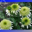 'Honeydew Cluster' Green Echinacea, 100 Seeds, big blooms