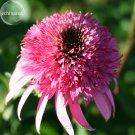 Heirloom 'Razzmatazz' Echinacea, 100 Seeds, big blooms pink
