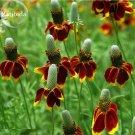 Mexican Hat Ratibida Echinacea Purpurea Cornflowers, 20 seeds