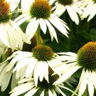 Rare Middle-sized White Echinacea Coneflower Perennial Plants, 100 seeds
