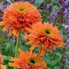 Echinacea 'COLORBURST' Orange Hybrid Bonsai Coneflowers, 200pcs 'seeds
