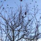 30 Common Buttonbush Seeds #RDR