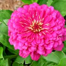 "300 Seeds Zinnia Luminosa Flower Giant 4-5"" Bright Pink Blooms Summer to Fall"