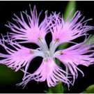1000 Fringed Pinks Mix Beautiful Flower Seeds