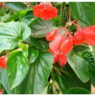 15 Begonia Seeds Dragon Wing Red Begonia Seeds