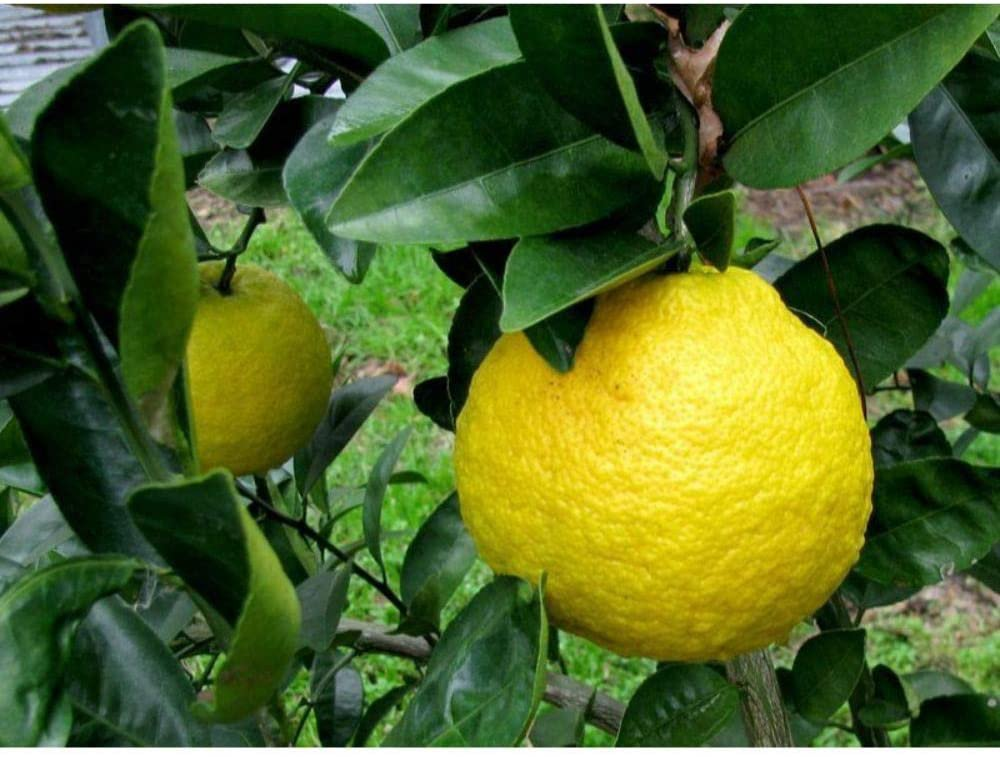 10 Nansho Diadia Sour Orange Seeds #RDR