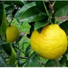 10 Nansho Diadia Sour Orange Seeds #RDR