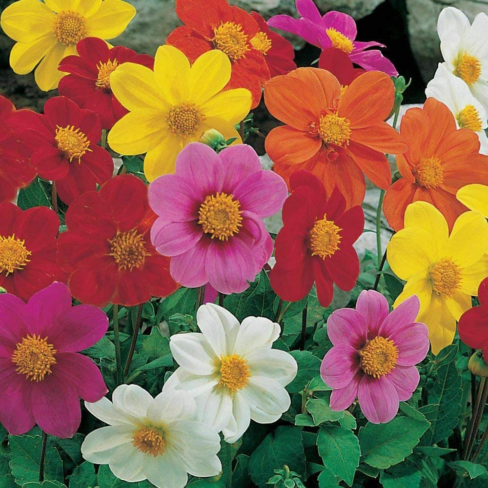 "300 Seeds Dwarf Dahlia Patio Mix 16"" Tall Purple Red Rose Salmon White Yellow"