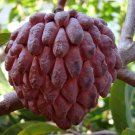 20 SEEDS RED ANNONA SQUAMOSA, SUGAR APPLE, CUSTARD APPLE, ANON ORGANIC USA