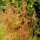 500 Seeds Indian Grass Native Prairie Wildflower Clumping Ornamental Perennial