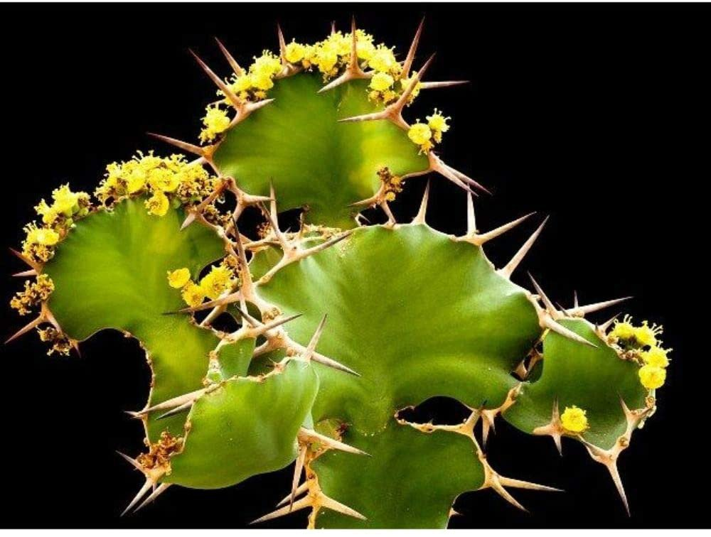 5 Seeds Euphorbia Grandicornis Cow�s Horn Cactus Succulent Spiky Plant