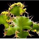 5 Seeds Euphorbia Grandicornis Cow's Horn Cactus Succulent Spiky Plant
