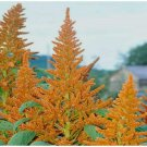 50 Seeds Golden Giant Amaranth