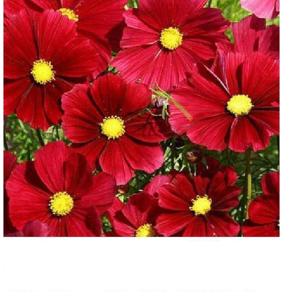 50 Seeds Cosmos Rubenza Seeds
