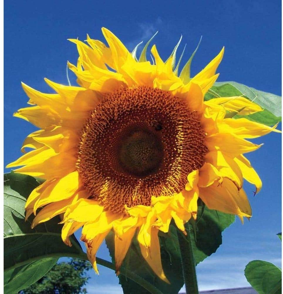 "100 Seeds Mammoth Black Russian Sunflower Organic Huge 11ft Giant 15"" Plant"