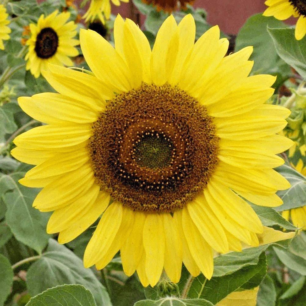 50 Seeds Lemon Queen Sunflower Native Wildflower Branching Type Long Bloomer