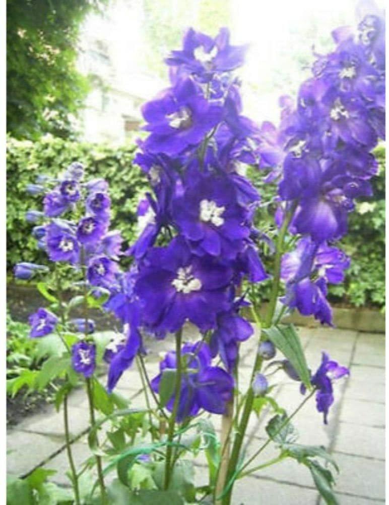 500 Seeds Purple Rocket Larkspur Delphinium Flower Perennial