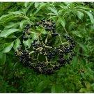 50 Seeds American Elderberry Sambucus Canadensis Organic