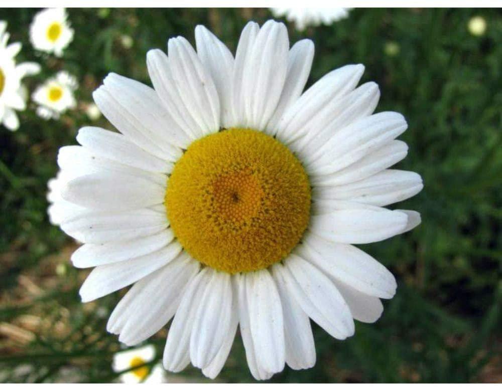 2000 Ox Eye Daisy Marguerite Chrysanthemum Leucanthemum Flower Seeds
