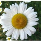 2000 Ox Eye Daisy Marguerite Chrysanthemum Leucanthemum Flower Seeds
