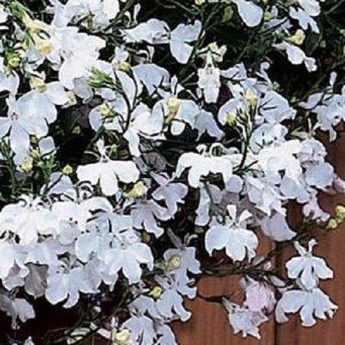 50 Lobelia Multi Pelleted Seeds Regatta White Trailing Seeds