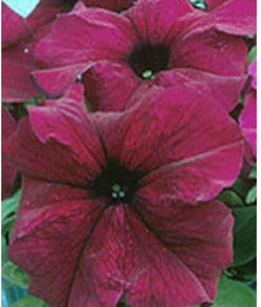 200 Pelleted Petunia Seeds Supercascade Burgundy Seeds