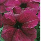 200 Pelleted Petunia Seeds Supercascade Burgundy Seeds