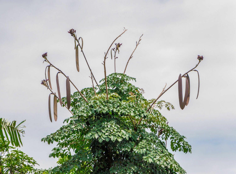 10 Midnight Horror Tree Oroxylum Indicum Tropical Container Rare Seeds