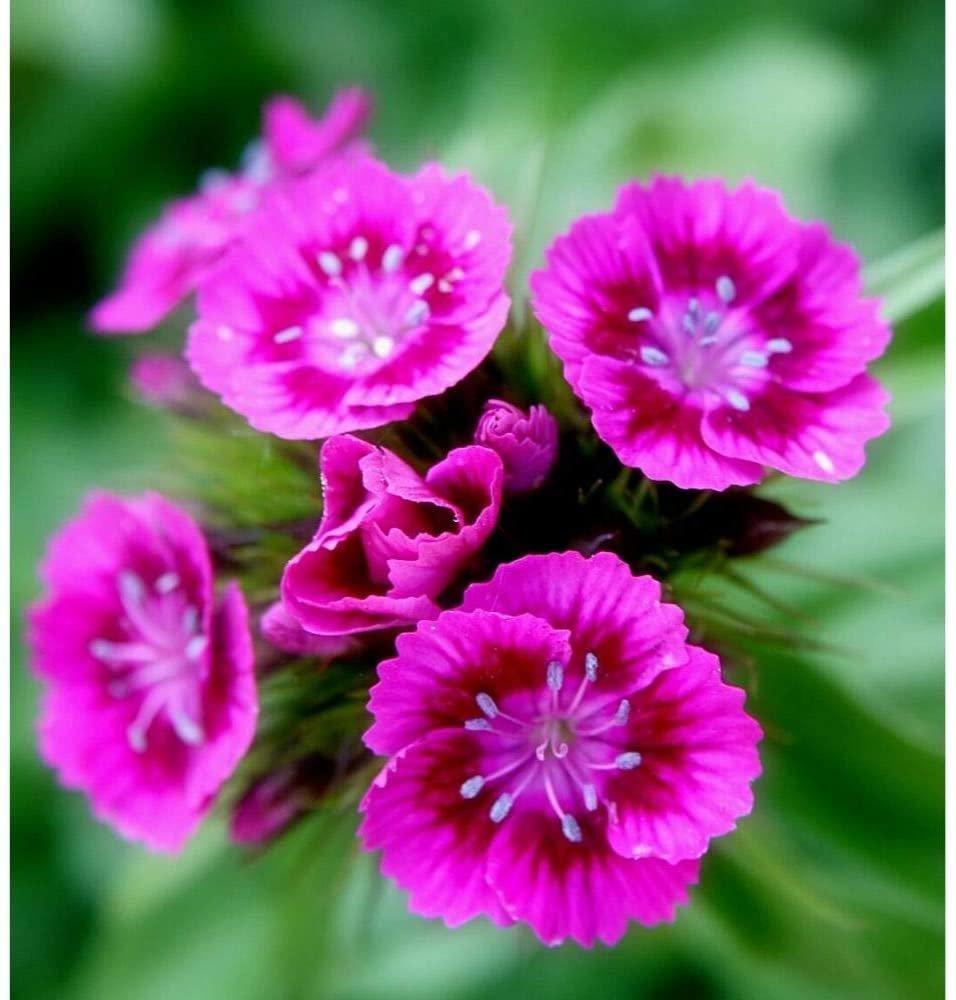 500 Seeds Pink Sweet William Flower European Wildflower Perennial Groundcover