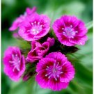 500 Seeds Pink Sweet William Flower European Wildflower Perennial Groundcover