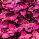 10 Seeds Coleus Jazz Velvet Flower Seeds
