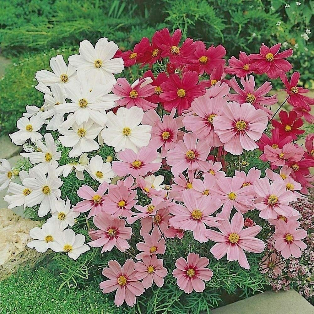 "300+ DWARF COSMOS MIX Flower Seeds Ht 24-30"" Red White Pink Drought Tolerant EASY"