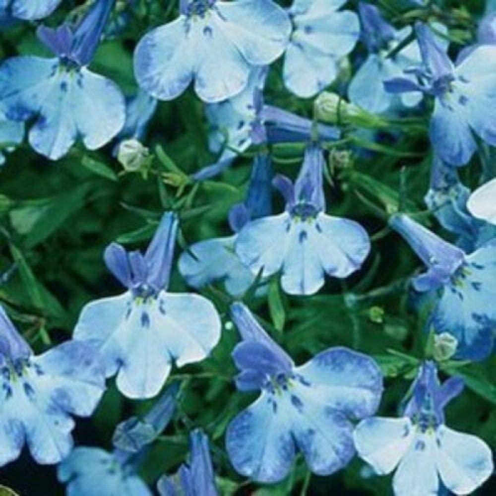 200 Blue Splash Lobelia Regatta Blue & White Erinus Flower Seeds
