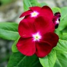 100 Seeds Periwinkle Little Linda Flower Seeds
