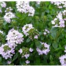 150 Creeping Winter Savory Satureja Montana Herb Flower Seeds