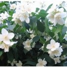 20 Mock Orange Sweet English Dogwood Philadelphus Coronarius Shrub Flower Seeds