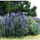 50 Blue Pride of Madeira Echium Candicans Fastuosum Nectar Flower Seeds