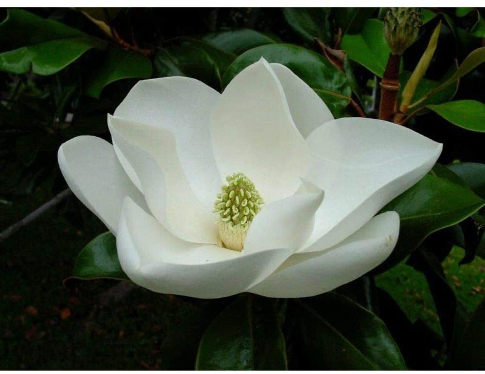 30 Southern Magnolia Fresh This Season's Harvest Seeds