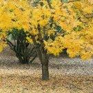 Thornless Honeylocust Gleditsia Triacanthos Inermis Tree 10 Seeds #SFB11