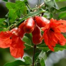 Punica Granatum Pomegranate Bonsai 20 Seeds #SDP99
