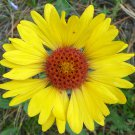 Yellow Blanket Flower 100 Seeds #CRB03