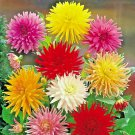 Giant Cactus Zinnia Mix Flower 300 Seeds #CRB03