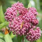 Milkweed Sampler 50 Seeds #CRB03