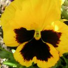 Yellow & Brown Pansy Viola Flower 50 Seeds #SFB11