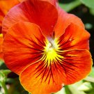 Red & Yellow Pansy Viola Flower 50 Seeds #SFB11