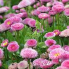 Pink English Daisy Flower 100 Seeds #SFB11