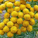 Yellow Tansy Flower 100 Seeds #SFB11