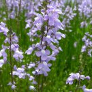 Blue Toadflax Flower 100 Seeds #SFB11