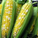 Bilicious Bicolor Corn Sweet Yellow & White Vegetable 60 Seeds #SFB11